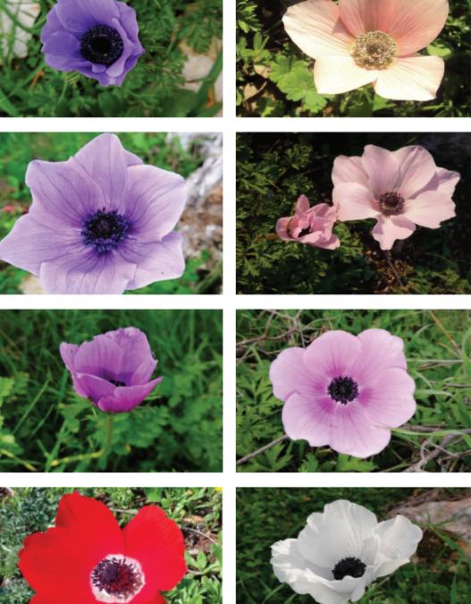 Mise en valeur de la diversité végétale au Mont Barquash, Jordanie